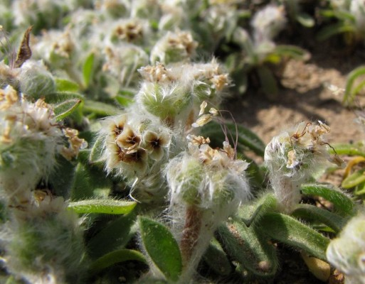 לחך כרתי Plantago cretica L.