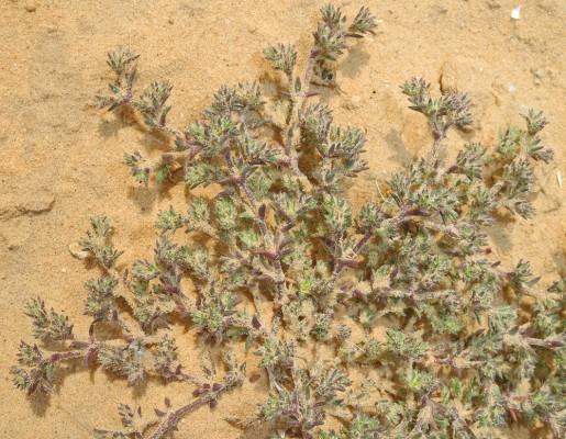 מרצענית ספרדית Loeflingia hispanica L.