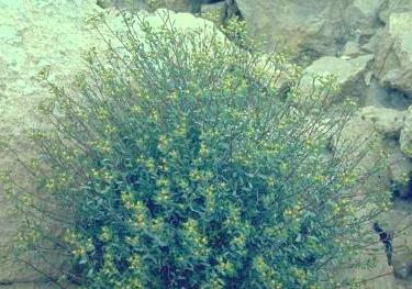 Euphorbia ramanensis B.R.Baum