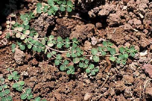 Euphorbia serpens Kunth