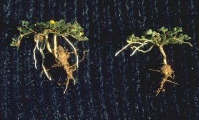 פורח בצהוב מעל פני הקרקע, מחדיר פרחים מופרים לקרקע ומבשיל פירותיו בתוך הקרקע.