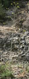 עשב רב-שנתי בעל שושנת עלים גזורים הדוקה לקרקע וגבעול תפרחת בן 2-1 מ'. בקרקע רנדזינה בהירה.