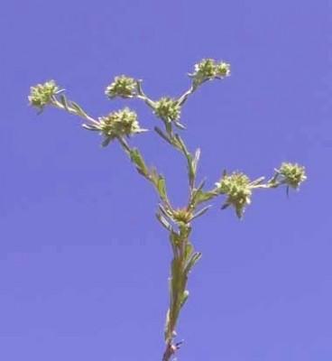 פילגון מצוי Filago pyramidata L.
