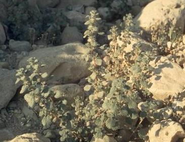 פורסקלאה שבירה Forsskaolea tenacissima L.