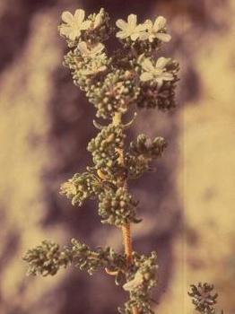 פרנקניה שעירה Frankenia hirsuta L.