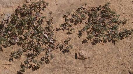 פרנקניה מאובקת Frankenia pulverulenta L.