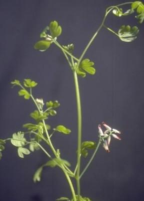 עשנן מטפס Fumaria capreolata L.