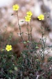 עלי-הגבעול נגדיים וגדולים מהעלים המלווים את הפרחים. צבע עלי-הכותרת צהוב