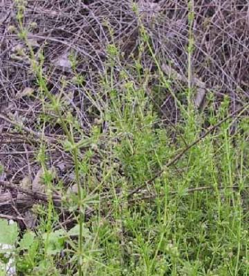 דבקה זיפנית Galium aparine L.