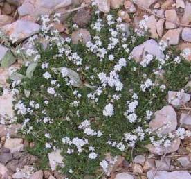 צמחי חרמון, מואב ואדום, הכותרת לבנה.