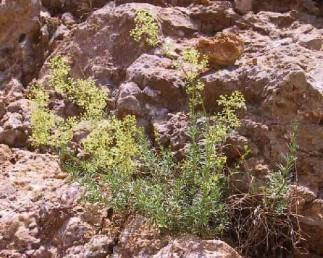 בן-שיח, הגבעולים שרועים; העלים ערוכים על פי רוב 8-6 בדור.