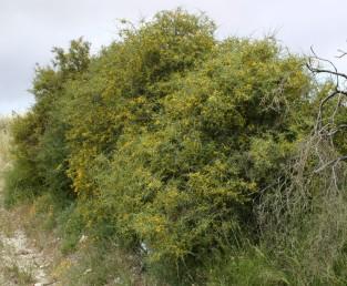 שיחים זקופים, גובהם 2-1 מ'. צמחים הגדלים בכרמל ובחוף הכרמל.