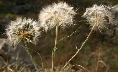 זירעוני הפרחים ההיקפיים נותרים על צמח האם, הציצית שלהם עשויה 5-3 זיפים; זירעוני המרכז בעלי ציצית שזיפיה בעלי שערות צדדיות.