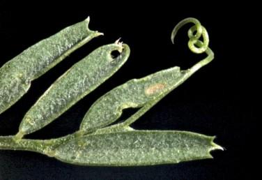 הקנוקנות בקצות העלים פשוטות, לעיתים מסועפות.