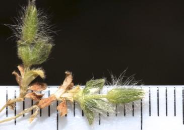 הגביע והגבעול מכוסים בצפיפות שערות פשוטות קשות, ארוכות.