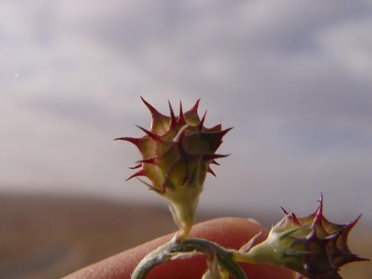 כרבולת הררית Onobrychis montana DC.