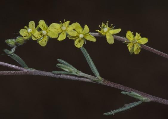 שמשון יושב Helianthemum sessiliflorum (Desf.) Pers.