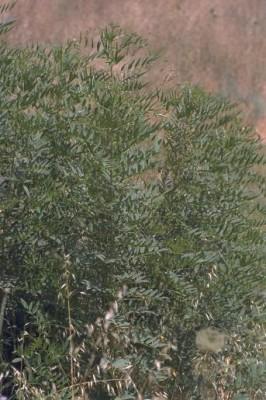 שוש קירח Glycyrrhiza glabra L.
