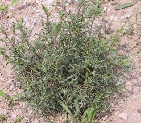 גבסנית ערבית Gypsophila capillaris (Forssk.) C.Chr.