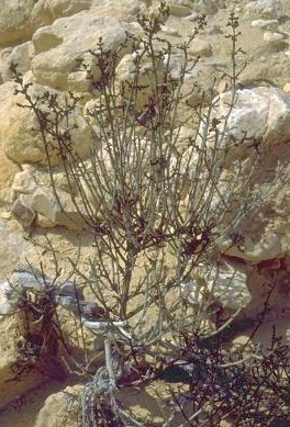 Haloxylon negevensis (Iljin & Zohary) Boulos