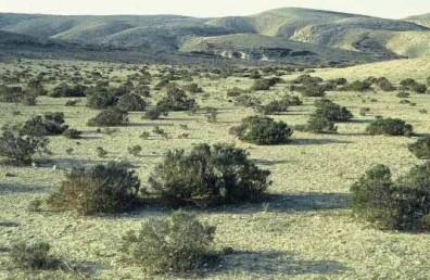 צמחים נפוצים של הר הנגב, בעיקר על קרקעות לס.