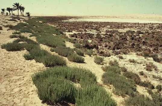 סווד אצטרובלי Halocnemum strobilaceum (Pall.) M.Bieb.