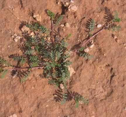 משנצת קוצנית Hedysarum spinosissimum L.