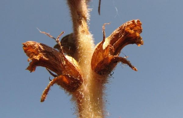 עלקת רכת-שער Orobanche pubescens D'Urv.