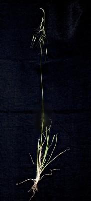 שיבולת-שועל שוטה Avena fatua L.