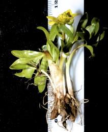 עשבים רב-שנתיים בגובה 8-3 ס