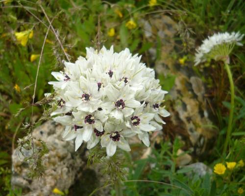 שום הגליל Allium meronense Fragman & R.M.Fritsch