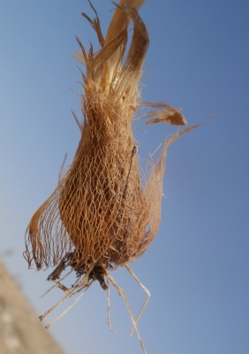 Allium artemisietorum Eig & Feinbrun