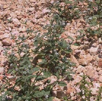 עוקץ-עקרב אירופי Heliotropium europaeum L.