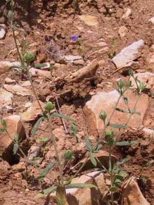 שמשון שעיר Helianthemum lasiocarpum Desf. ex Jacques & Herincq