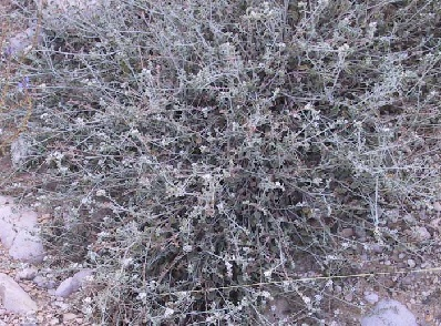 Heliotropium maris-mortui Zohary