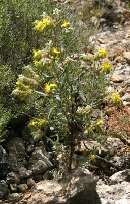שמשון אזוביוני Helianthemum syriacum (Jacq.) Dum.Cours.