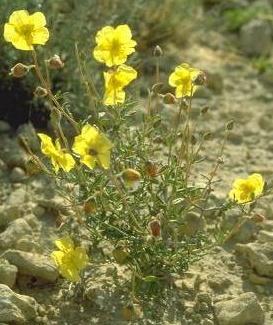 שמשון הנגב Helianthemum ventosum Boiss.