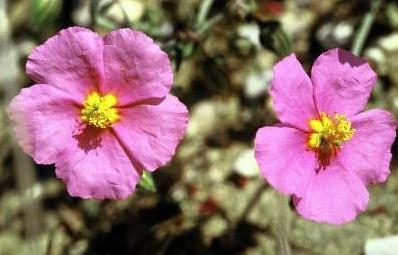 שמשון הדור Helianthemum vesicarium Boiss.