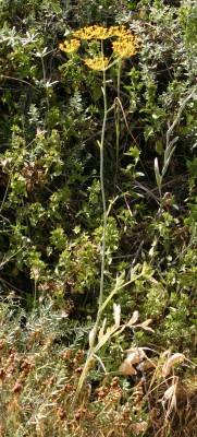 כנפה חרוקה Heptaptera anisoptera (DC.) Tutin