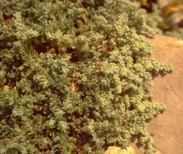 דרכנית אפורה Herniaria incana Lam.