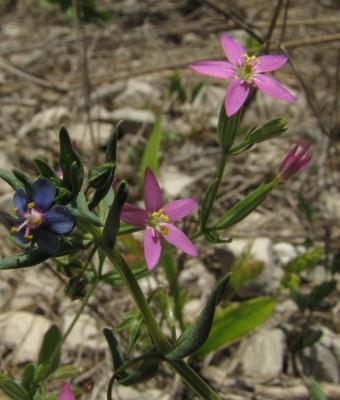ערבז דק-פרחים Centaurium tenuiflorum (Hoffmanns. & Link) Fritsch
