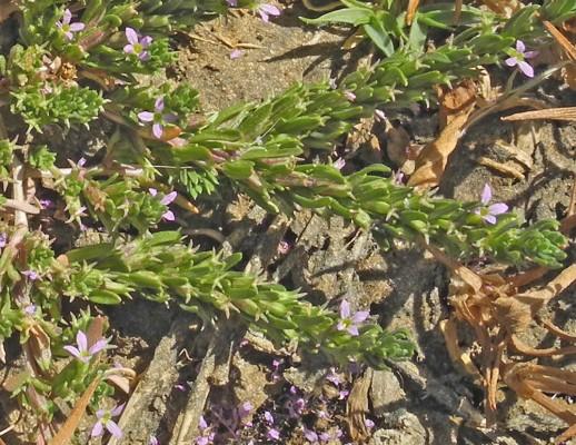 שנית הקורנית Lythrum thymifolium L.