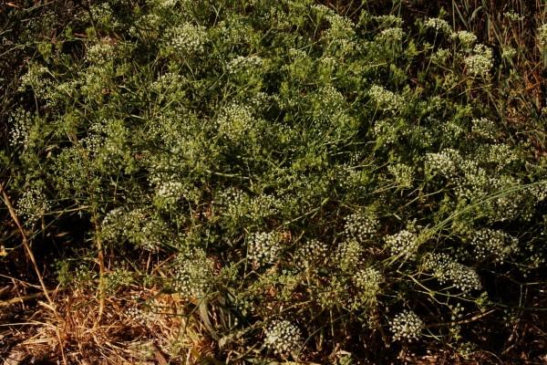 Falcaria vulgaris Bernh.