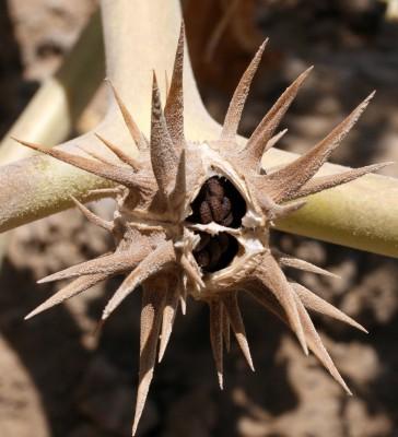 דטורה אכזרית Datura ferox L.