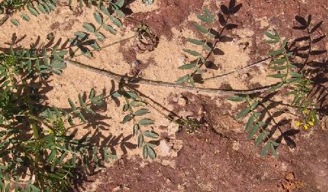 פרסה רבת-תרמילים Hippocrepis multisiliquosa L.