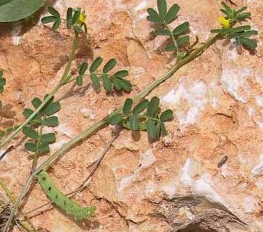 פרסה דלת-תרמילים Hippocrepis unisiliquosa L.