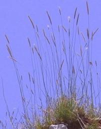צמחים רב-שנתיים, גובה הקנים 100-60 ס