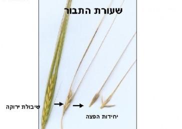 אחד מכל שלישיית פרחים מבשיל, ציר השיבולת שביר; ניכרים בה שני טורי זרעים המצויידים במלען ארוך.