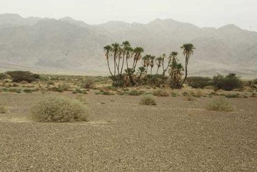דום מצרי Hyphaene thebaica (L.) Mart.