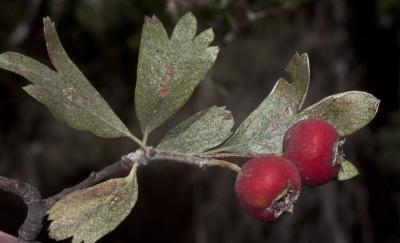 הפרי אדום, חד-גלעיני, קוטרו 15-10 מ